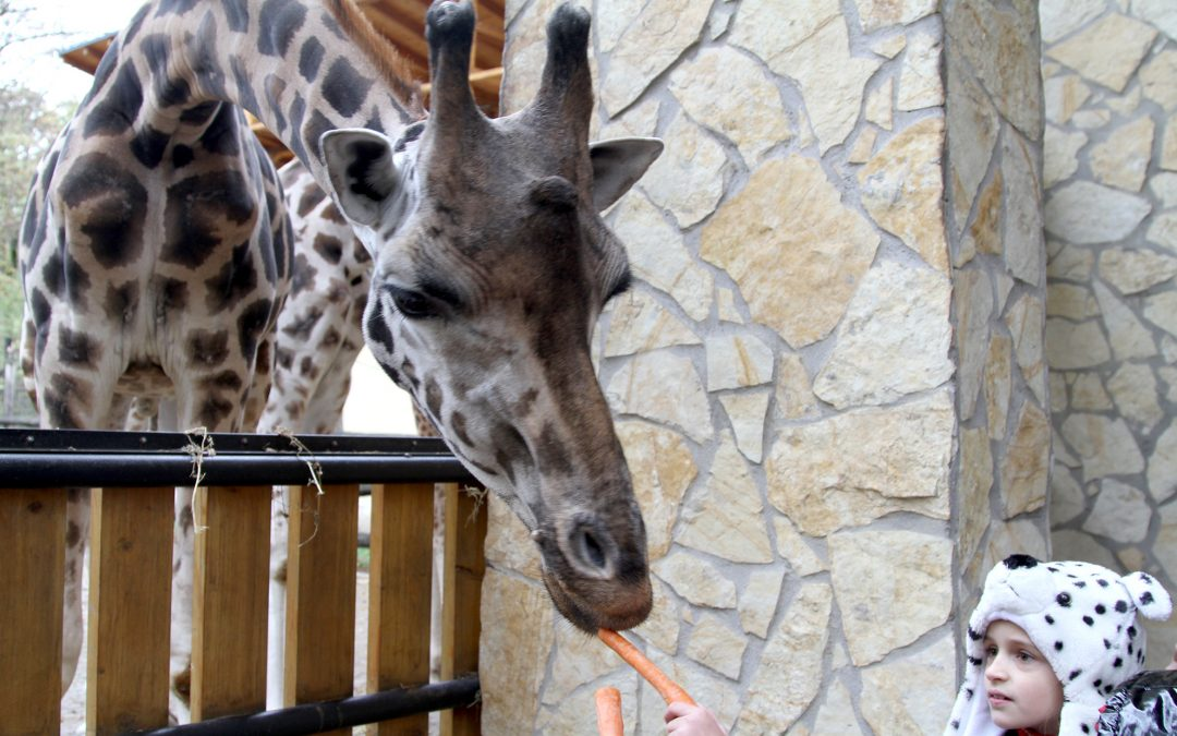 Adopting giraffes at the local zoo